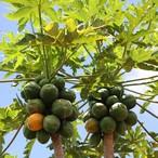 Papayaの種(20粒入り)