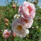 【希少種】バーネット マーブルド ピンク Burnet Marbled Pink