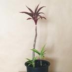 Ti Leaf (Dwarf Red)