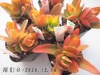 多肉植物 火祭 ヒマツリ(クラッスラ属)6個セット いとうぐりーん 産直苗 2号