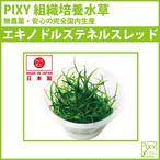 PIXY組織培養水草 エキノドルステネルスレッド