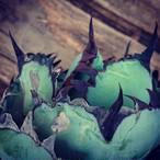 no.3 アガベ チタノタ ブラックアンドブルー Agave titanota black&blue 子株付き 【発根済】