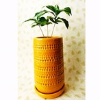 観葉植物 コーヒーの木 陶器鉢入