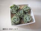 ラブリーローズ 韓国苗 多肉植物