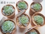 ポトシナ(エケベリア属)韓国苗 多肉植物 人気品種