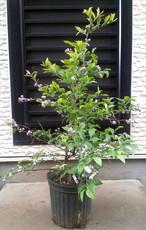 ラビットアイブルーベリー【ウッダード】樹高0.8~0.9m