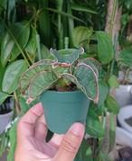 Sansevieria sp. Mafinga Tanzania Dragon サンスベリア ドラゴンウィング NO.4
