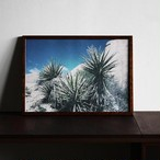 Yucca schidigera MOJAVE YUCCA / B4 poster