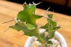 Euphorbia - オオマトイキリン -