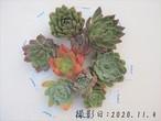 【SALE&送料無料】韓国苗9品種セットA 多肉植物