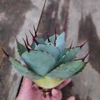 アガベ パリー トランカータ agave parryi truncata 2