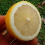 特別編★激レア柑橘、生ベルガモット★アールグレイの香り 極上精油 他も充実