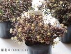 ★SALE★残り2点★ムラリス(モナンテス属)多肉植物