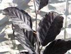 黒紫色のヨーロッパブナ【プルプレア】樹高約1.3m