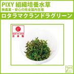 PIXY組織培養水草 ロタラマクランドラ sp ミニ