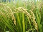 新米!合鴨農法かもかも米 玄米10キロ(精米9キロ)