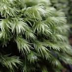 オオシラガゴケ《苔テラリウム・コケリウム用生苔》
