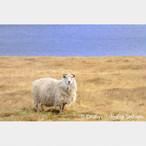 No.2-サイズM『Súðavikの羊 #1』