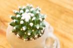 Cactus Skull - 王冠短毛丸 -