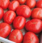 ご家庭用フルーツトマト(キズ・変形有)約1,800g☆ 高糖度トマト サラダ・カプレーゼにも♪