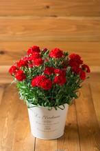 【母の日・花のプレゼント】カーネーション鉢/レッド