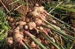【ジンジャーシロップにどうですか?】無農薬・無科学肥料 新しょうが4k