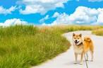 柴犬まる;ポストカード ;青空の下