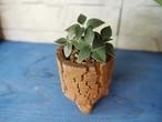カランコエ・オルギアリス ×信楽焼鉢
