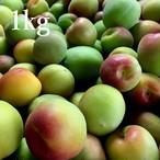 島田梅園の都農梅:1kg(5月下旬~6月下旬発送予定)