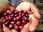 えっ!これコーヒーなの!? エチオピア シダモG1 ナチュラル グジ 100g