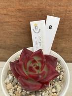 多肉植物 韓国苗 シリウス × エボニー☆No.8