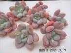【新品種】ラブキャンディ 韓国苗 多肉植物