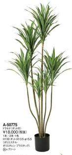 ドラセナ   花言葉「幸福」「永遠の愛」「幸せな恋」 高さ:130cm