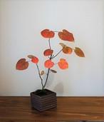 盆栽 マルバノキ