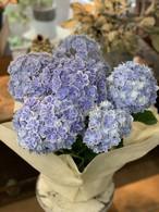 【母の日】鉢アジサイ(万華鏡ブルー)