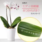 おつかれさま - ミディ胡蝶蘭2本立.白色