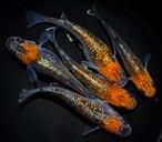 *伊香保FF BASE限定* オーロラ黄ラメ体外光 稚魚(2021年産まれ)稚魚 20匹 ikahoff V-0321-7899-c