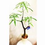 観葉植物 ボトルツリー ブラキキトン 5号