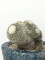マミラリア ・鶴の子丸