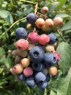 木で完熟!無農薬ブルーベリー2キロ、送料クール代込み