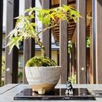 【盆栽キット】ご自宅で作る!モミジの盆栽体験キット