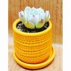 肉植物 エケベリア 3号 陶器鉢 イエロー