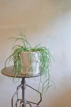 リプサリス 鉢植え