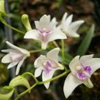 白花キンギアナム9cmポット苗