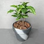 ラフポットグリーン コーヒーツリー 4号鉢