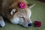 ポストカード -花咲きまるー