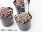 多肉植物 レズリー(エケベリア属)いとうぐりーん 産直苗 2号