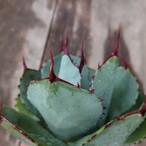 アガベ パリー トランカータ agave parryi truncata 1