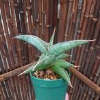 子株付き Sansevieria sp. 'Johannesburg' ロリダ Lav.23395 サンスベリア ヨハネスブルク