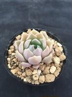 多肉アン交配 (セトーサ×ノバヒネリアナ)×hyalina v sanchez mejoradae,S.L.d Paz(小苗)